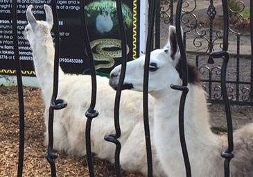 Llama Husbandry