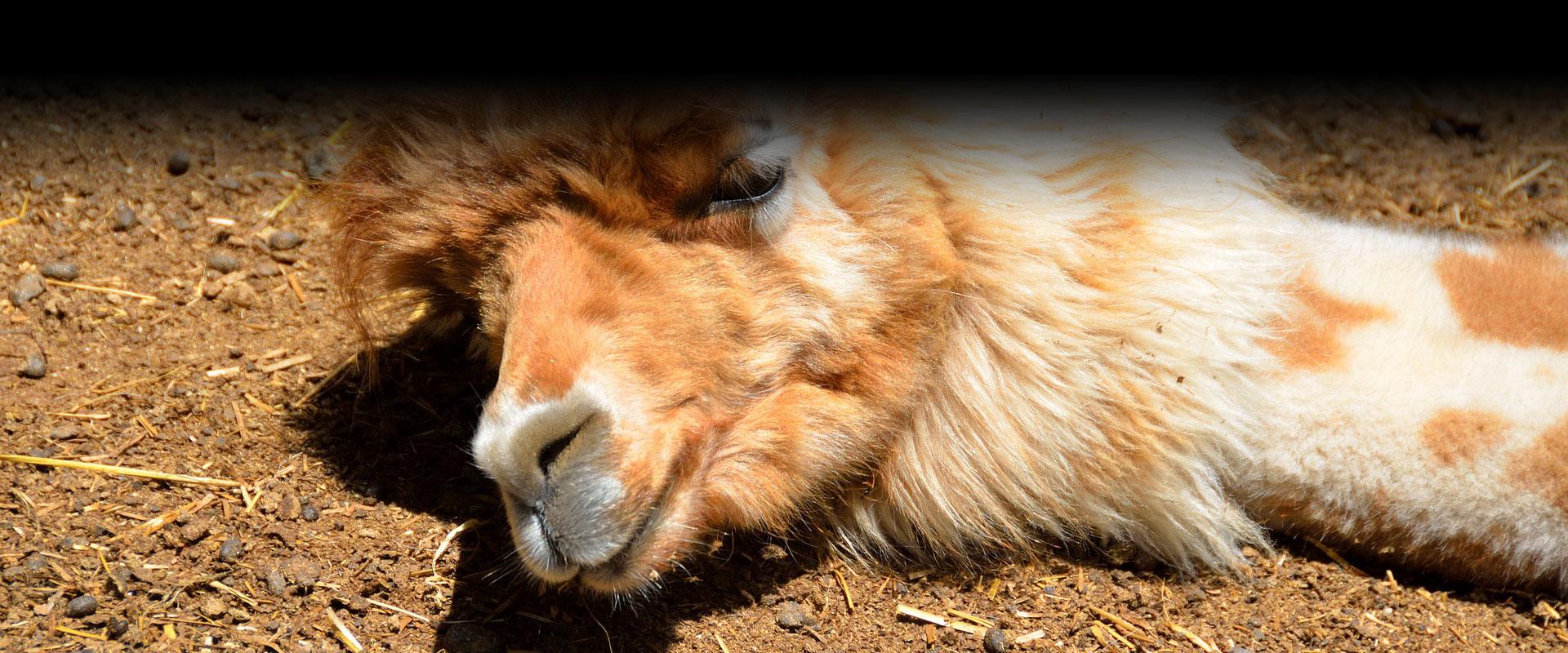 party-like-a-llama