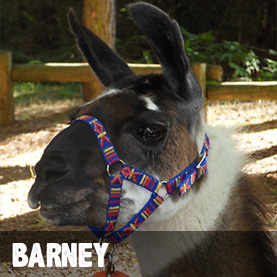 adopt-llama-barney